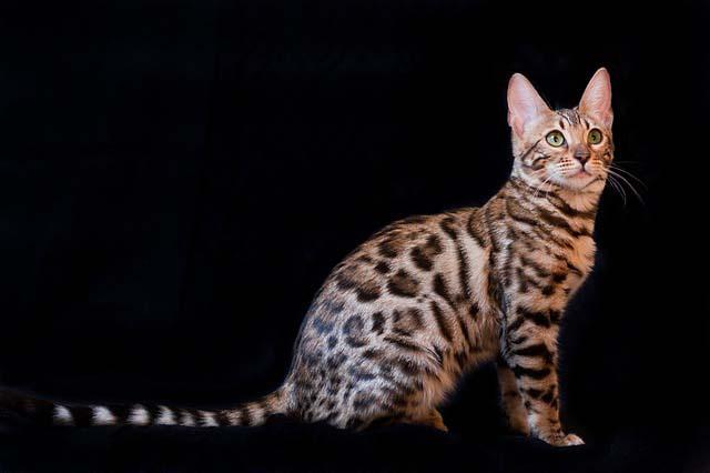 Razas de gatos de peque�o tama�o