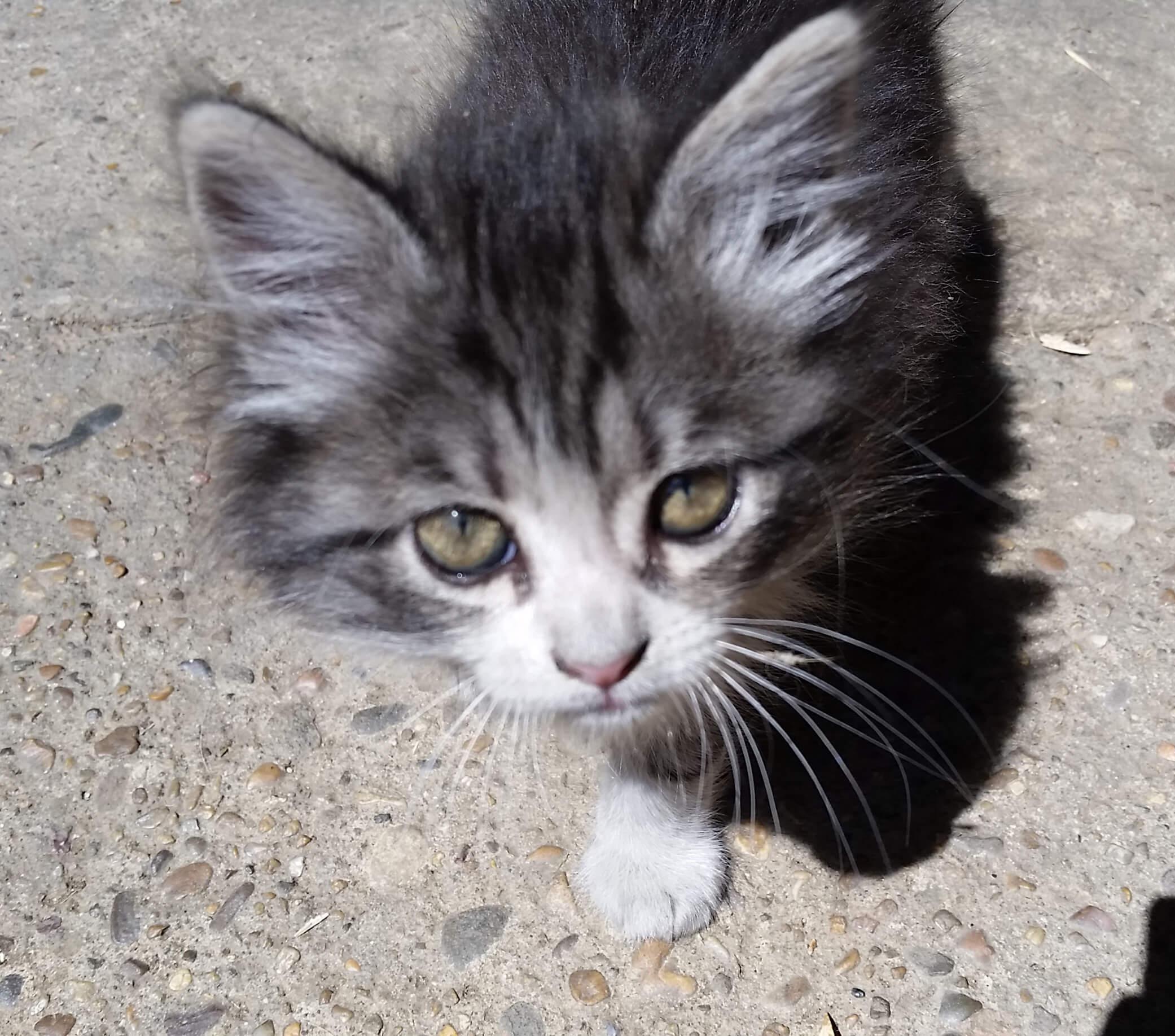 gato_embarazada