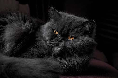 Problema de la caida del pelo en gatos