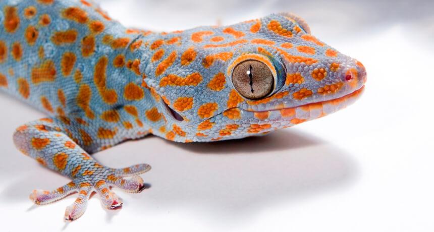 Gecko o Geko