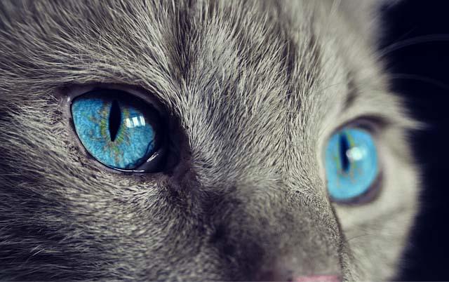 Razas de gatos de tama�o medio